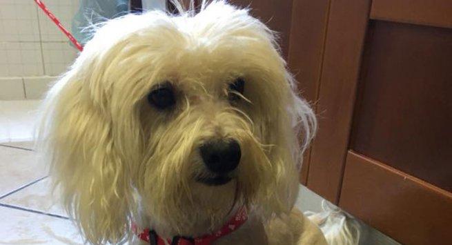 Torre annunziata trovato un cane di razza maltese nei for Cane razza maltese