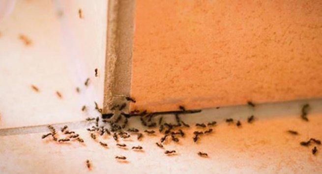 Rimedi Naturali Contro L Invasione Di Formiche Torresette